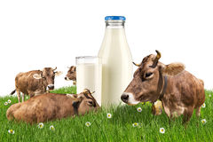 Cows with milk bottle on meadow Stock Images