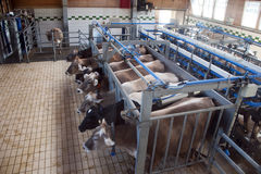Cows milking. In a modern stable farm Royalty Free Stock Photo