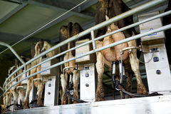 Cows and milking machine at rotary parlour on farm. Agriculture industry, farming, milking and animal husbandry concept - cows udder with machine at rotary Stock Photos