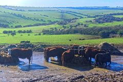 Cows in the Mire Stock Images