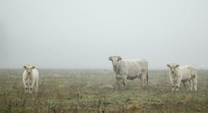 Cows in mist Stock Images