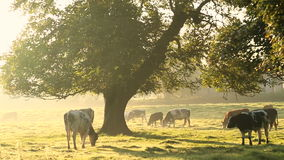 Cows in misty field, early morning, Usk Valley, nr Usk, South Wales stock video footage