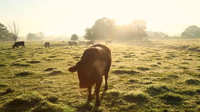 Cows in misty field, early morning, Usk Valley, nr Usk, South Wales stock video