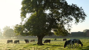 Cows in misty field, early morning, Usk Valley, nr Usk, South Wales stock footage