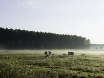 Cows on a misty morning Royalty Free Stock Photography