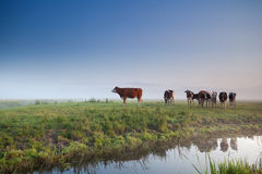 Cows on misty morning meadow Royalty Free Stock Image