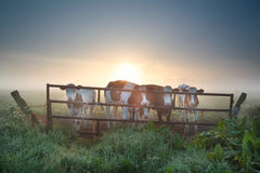Cows on misty pasture behind fence Stock Images