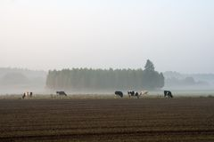 Cows on misty pasture at sunrise Royalty Free Stock Photo