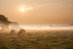 Cows on misty pasture at sunrise Stock Photo