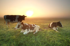 Cows on misty pasture at sunrise Royalty Free Stock Images