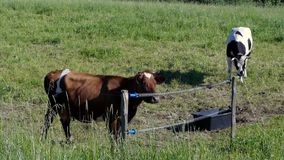 Cows moo and want to go home. Cows come to gate, moo and ask to go home stock video footage