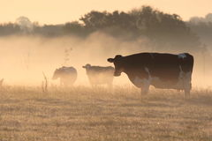 Cows in morning frosty mist. Royalty Free Stock Photo