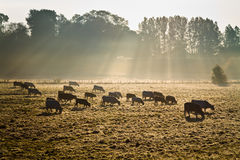 Cows in morning mist royalty free stock images