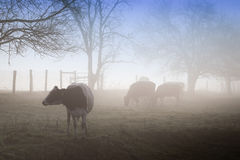 Cows in Morning Mist Stock Photography