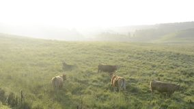 Cows in morning mist. Cows on pasture of green field in morning mist stock video footage