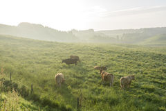 Cows in morning mist Royalty Free Stock Photography