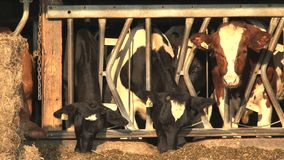 Cows in the morning, Ontario stock video footage