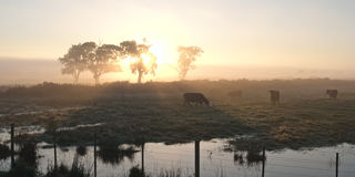 Cows in morning sun. Silhouettes of black cows in winter morning sun through trees with fog, water near the fence royalty free stock images