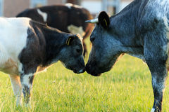 Cows mother and calf love, Belgian Blue cows Stock Photos