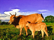Cows. Mother and Child Cow Stock Images