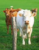 Cows: a mother in front of her calves Royalty Free Stock Photo