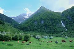 Cows in mountain Royalty Free Stock Image