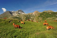 Cows in mountain Royalty Free Stock Photos