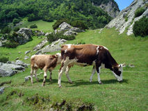 Cows in mountain Stock Images