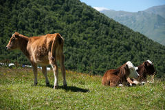 Cows in mountain Stock Image