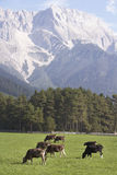 Cows at mountain farm. Brown cows grazing on farmland in front of mountains in the Austrian alps Stock Photography