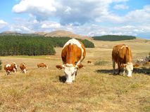 Cows on the mountain field. In Serbia royalty free stock image