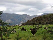 Cows on the mountain stock photos