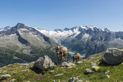 Cows Mountain Lake Austria Royalty Free Stock Images