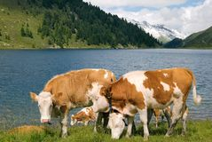 Cows on mountain lake pasture. Small herd of brown-white cows by a blue mountain lake stock photography