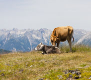 Cows in Mountain Landscape Stock Images