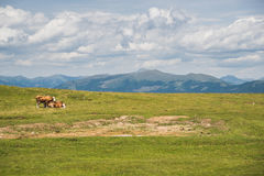 Cows in the mountain Royalty Free Stock Photos