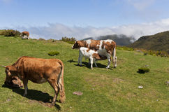 Cows on mountain meadow. The picture shows some cows on a mountain meadow Stock Images