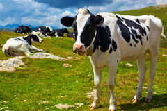 Cows on mountain meadow Royalty Free Stock Photos