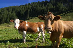 Cows in mountain meadow Royalty Free Stock Image