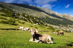 Cows in mountain meadow Stock Photos