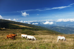Cows on a mountain meadow Stock Photography