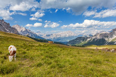 Cows on a mountain meadow Royalty Free Stock Photos