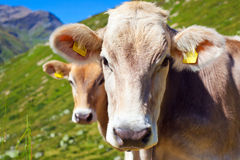 Cows on mountain meadow Royalty Free Stock Photography
