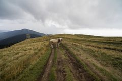 Cows on a mountain meadow. In a rainy day royalty free stock photos