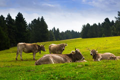 Cows in mountain meadow Royalty Free Stock Photo