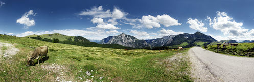 Cows on mountain pasture. Panoramic view of cows and mountains in background - Postalm / Austria Stock Photography