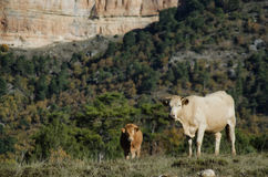 Cows in a  mountain pasture Royalty Free Stock Photos