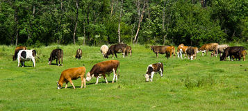 Cows on a mountain pasture in Bulgaria Stock Photography
