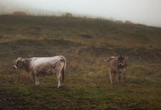 Cows in a mountain pasture. Cows in the fog, standing in a mountain pasture Stock Images