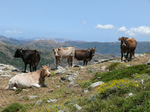 Cows in a mountain pasture Stock Photo